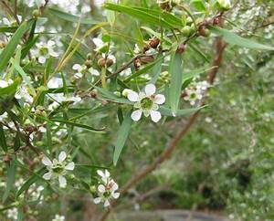 2 Lemon Scented TEA Tree Plants Leptospermum Herbal Garden ...
