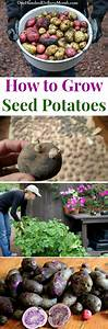 How to Grow Seed Potatoes {Start to Finish} - One Hundred ...