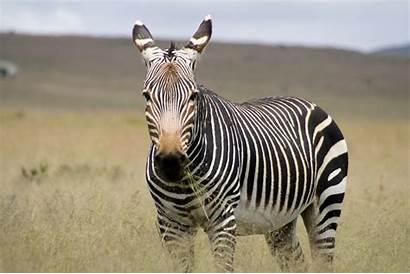 Zebra Scaled Wallpapers Backgrounds Wallpics Wallsdesk