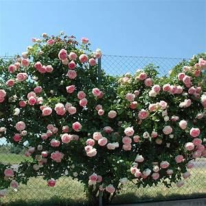 Rosier Grimpant Remontant : rosier grimpant pierre de ronsard meiviolin rosiers ~ Melissatoandfro.com Idées de Décoration