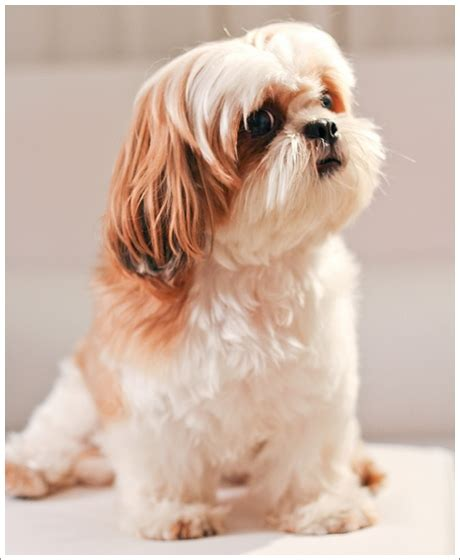 สุนัขพันธุ์เล็กที่คนนิยมเลี้ยง: สิงหาคม 2017