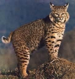 bob cat bobcat animal wildlife