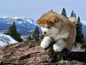 114 best images about Siberian Husky | Alaskan Malamute on ...