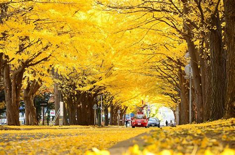 japanese ginkgo 15 of the world s most beautiful tree tunnels and how to get there flavorverse