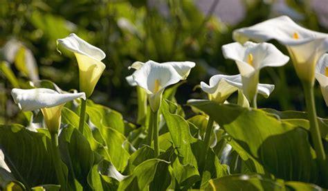 z aethiopica pin zantedeschia aethiopica aronskelk calla lily flickr photo on pinterest