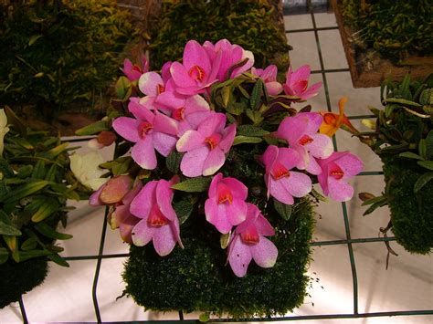 Dendrobium cuthbertsonii pink and white bicolor | Orchids Forum