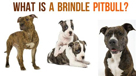 pitbull coat colors introducing the underrated brindle pitbull
