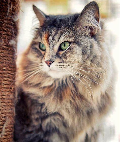 siberian cat hair shedding 25 best ideas about siberian cat on siberian
