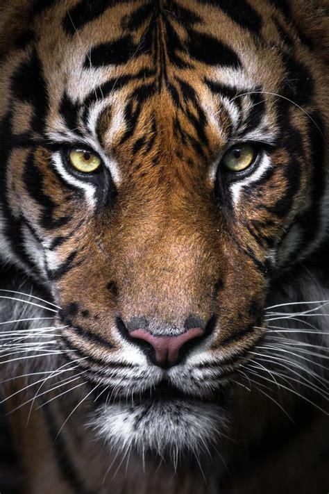 Face Sumatran Tiger Portrait Gemma Ortlipp