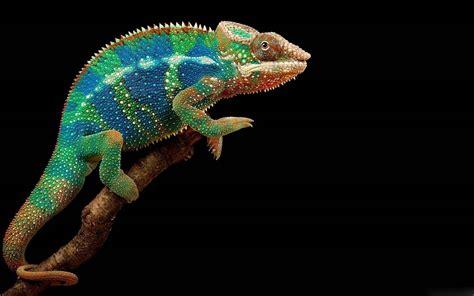 animal chameleon colored black background wallpaper