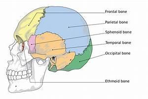 Sphenoid bone - Wikipedia