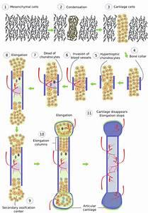 Animal Tissues  Bone  Atlas Of Plant And Animal Histology