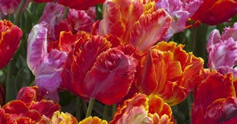 tulip parrot blend tulip bulbs for sale colorblends