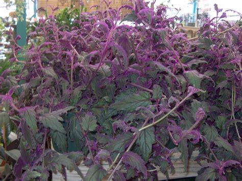 purple flower vine plants top 28 purple vining plants hyacinth bean seeds vine purple flowers fast growing 9 best