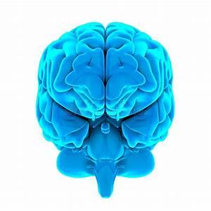 Brain Anatomy Occipital Lobe Stock Illustrations  U2013 231