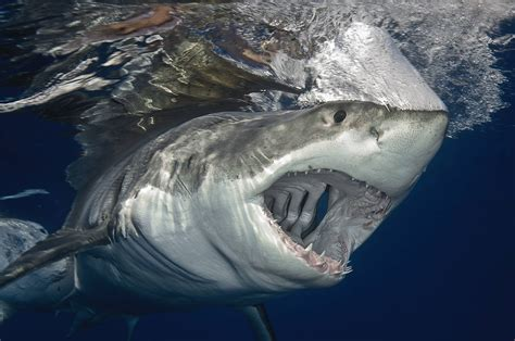can sharks see color great white shark you can see right through the