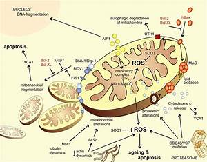 Mitochondrial Pathways Of Yeast Apoptosis And Age Induced