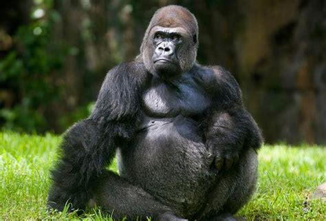 market leadership   gorilla