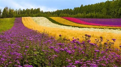 Fields Flowers Landscapes Wallpaper  1920x1080 64449