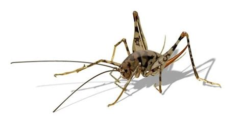 Tl2121 How To Get Rid Of Camel Crickets, Spider Crickets