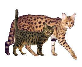 Savannahs  Stimulata Savannahs  Size Comparison Showing