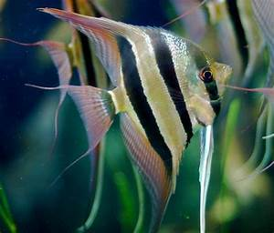 List of Aquarium Fish Species by Common Name | Angel ...