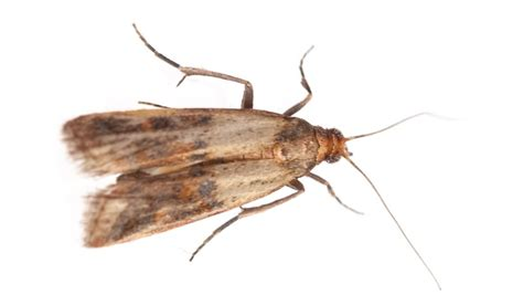 Indian Pantry Moth Eliminate Indian Meal Moth With Lakewood Exterminating