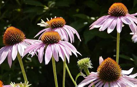 coneflowers   plant grow  care  echinacea