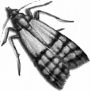 Manger Des Mites Alimentaires : pi ge mites alimentaires aeroxon pyrale du buis ~ Mglfilm.com Idées de Décoration