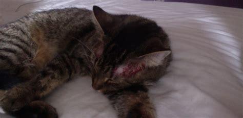 katze kratzt ohren blutig tiere katzen allergie