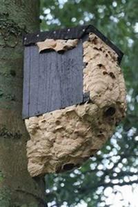 Hornissennest Im Haus : wespennest entfernen was muss beachtet werden ~ Lizthompson.info Haus und Dekorationen