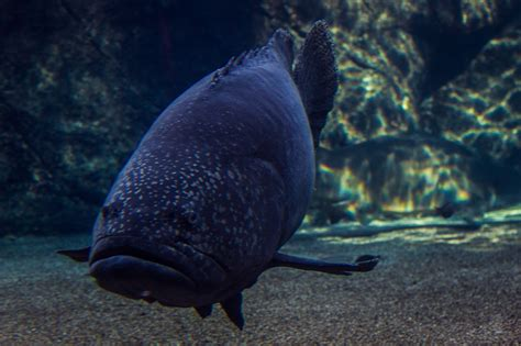 groupers giant grouper seaunseen hunting age