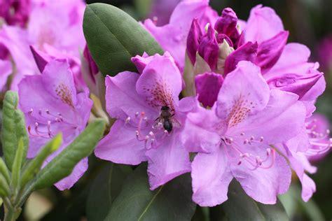 rododendro in vaso come coltivare rododendro in vaso cure