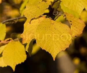 Alpenveilchen Gelbe Blätter : herbst gelbe bl tter einer linde stockfoto colourbox ~ Lizthompson.info Haus und Dekorationen