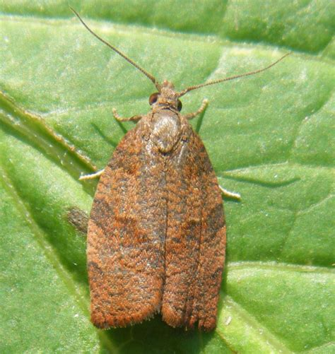 http://www.naturespot.org.uk/species/dark-fruit-tree-tortrix