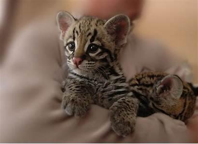 Animals Cat Adorable Tiger Iriomote Cub Animal