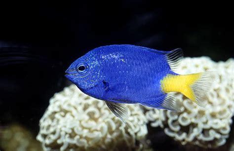 small saltwater fish  small tank aquariumbasecom