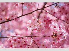 Get Ready, It's Sakura Time! GaijinPot