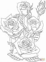 Coloring Rose Bush Roses Printable Disegni Rosa Adult Colorare Blumen Schematisch Ausmalbilder Kleurplaat Shrub Drawings Immagini Malvorlagen Flowers Grandiflora Prominent sketch template