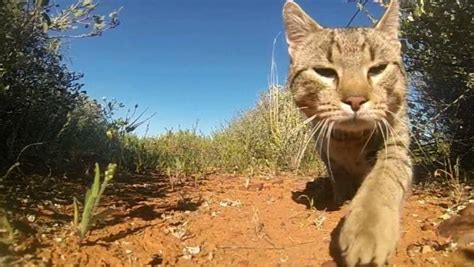 australian feral cat population millions smaller