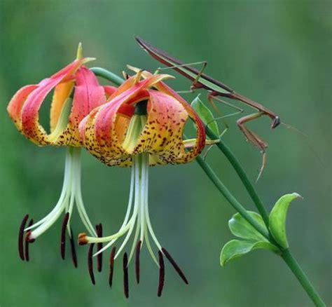 carolina lily state wildflower state symbols usa