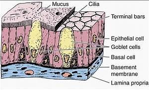 Pseudostratified Columnar Epithelium Histology