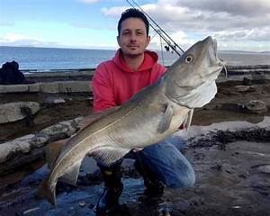 Monster Shore Caught Cod From Somerset Reefs - BRISTOL ...