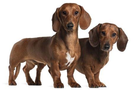 sausage dog behaviors  characteristics