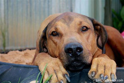 thabo rhodesian ridgeback dog breeds