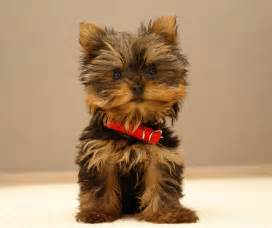 Does Border Terriers Shed by Cute Animals Top 20 Cutest Dog Breeds Amazing Creatures