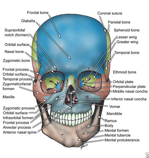 Each bone is a complex living organ that is made up of many cells. Principles of Human Anatomy and Physiology: CHAPTER 7: Anatomy of Bones and Joints