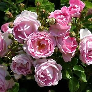 Rose Mein Schöner Garten : rosen pflanzen pflege krankheiten mein sch ner garten ~ Lizthompson.info Haus und Dekorationen