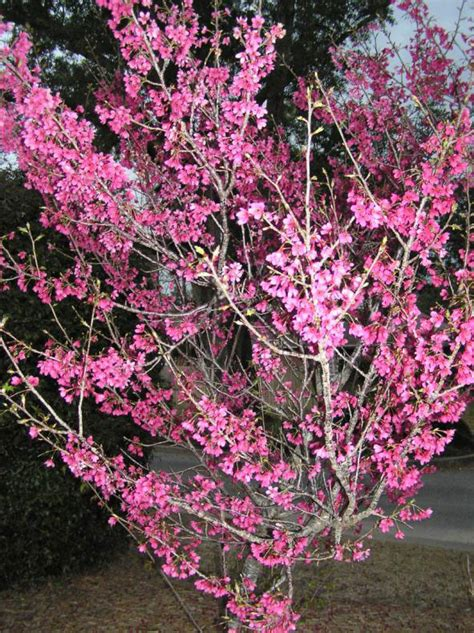 early flowering trees weekend gardening early flowering trees are ushering in spring northescambia com