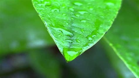rain  leaves wallpaper hd pixelstalknet